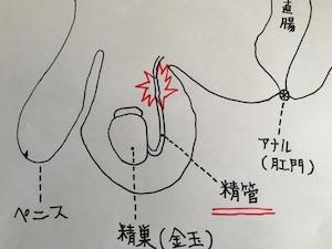 男性の下半身の内部構造