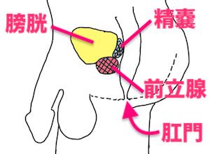 前立腺と精嚢の位置